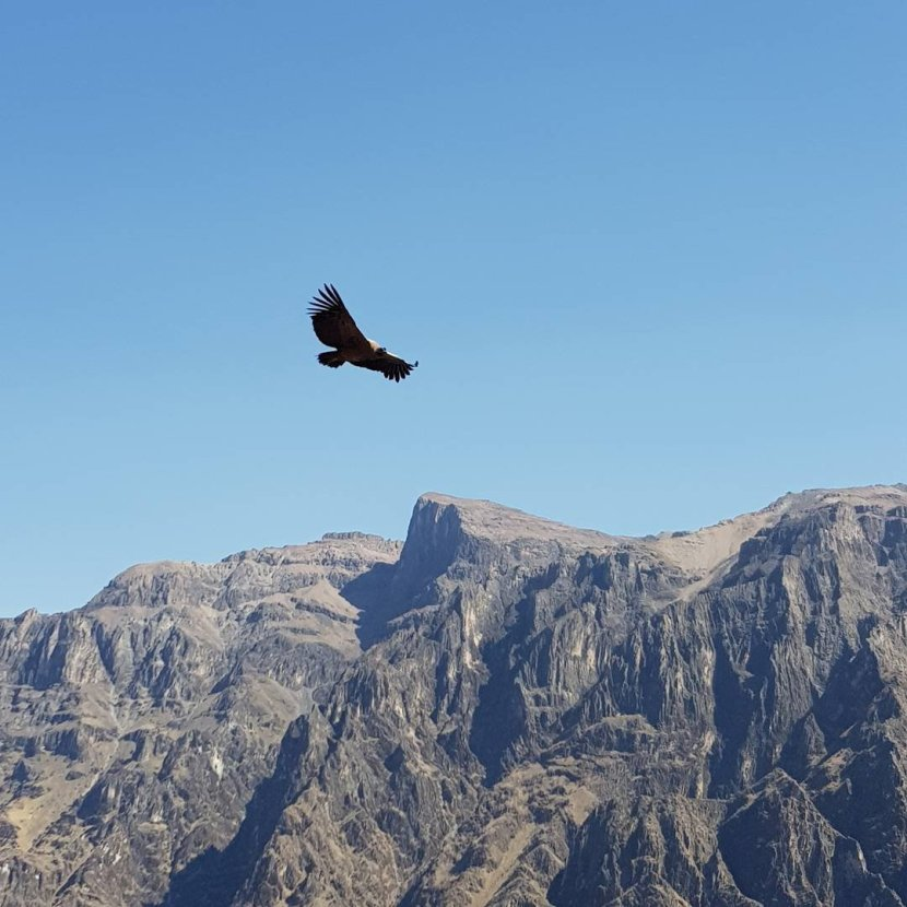 Chasing condors in Chivay….